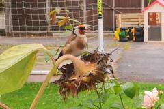 Distelfink im Garten