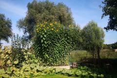 Der Topinambur blüht in rund fünf Meter Höhe
